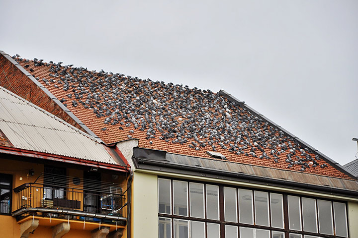 A2B Pest Control are able to install spikes to deter birds from roofs in Redruth.